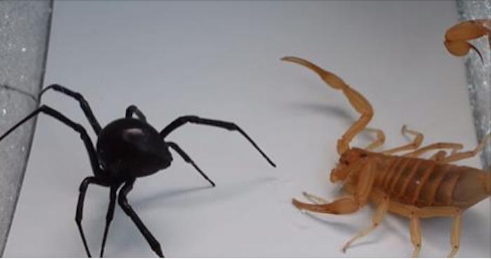 Scorpion Black Widow