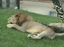 Rescued Lion Feels Grass For First Time