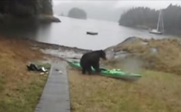 Bear revenge