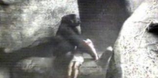 Brookfield Zoo Gorilla