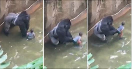Harambe and young boy, tragedy