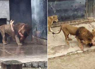 Lion suicide bid