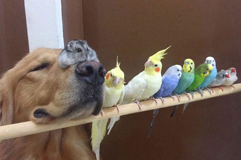 Meet The Golden Retriever Who Has Some Very Unusual Friends!