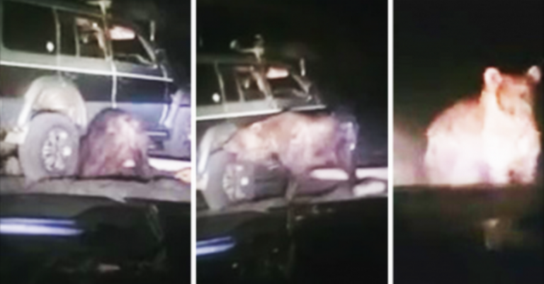 Bear Gets Run Over; Frees Itself – Then Totally LOSES It!