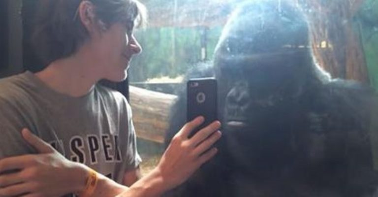 Gorilla Sees Pictures of Other Gorillas On A Cellphone… And Goes Bananas!