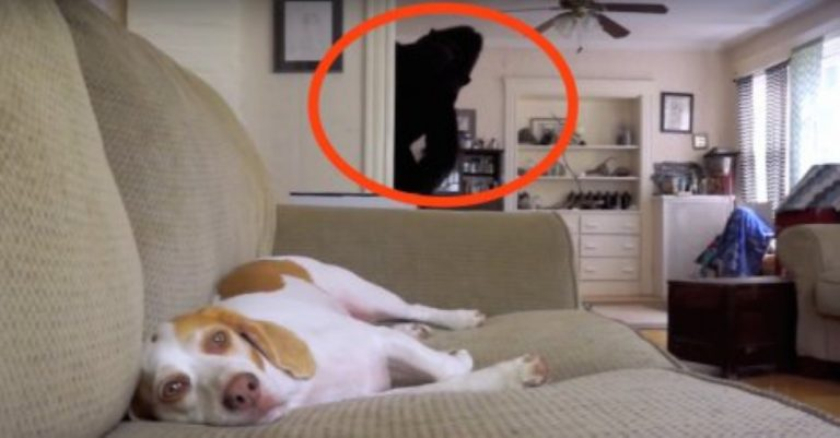 See This Stuffed Gorilla? Watch What Happens When The Dog Turns Around And Sees It!