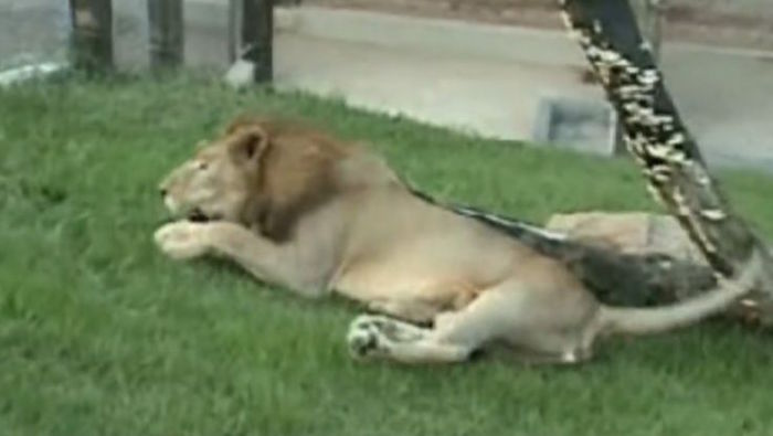 Watch The Moment That A Freed Circus Lion Touches Grass For The First Time!