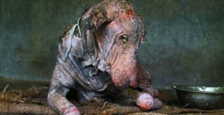 Left To Die, This Infected Dog Underwent a Miraculous Transformation!