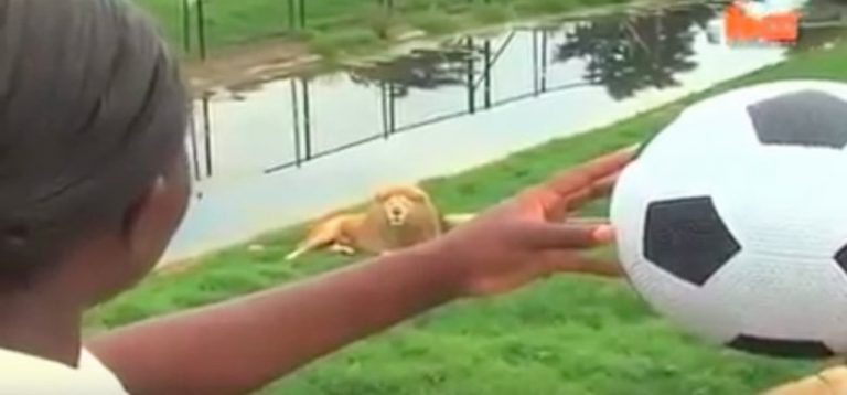 She Throws a Soccer Ball At This Lion. Just Watch How The Lion Reacts… INCREDIBLE!