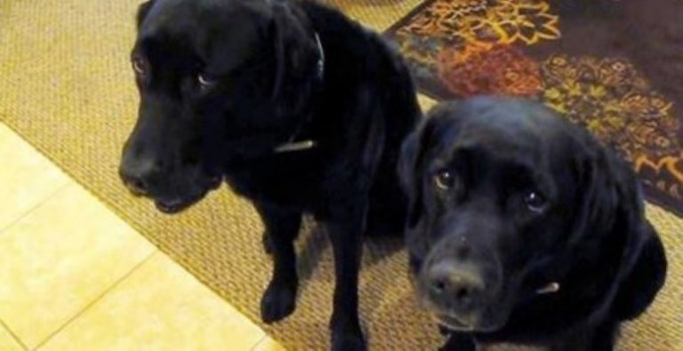 One Of These Two Dogs Stole A Cookie… How Mom Finds Out Who's Guilty? HILARIOUS!