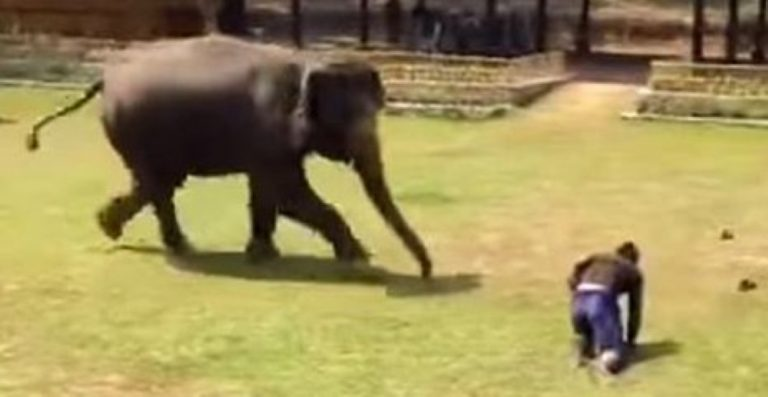 This Elephant's Caretaker Hits The Ground… But Just Watch What The Elephant Does