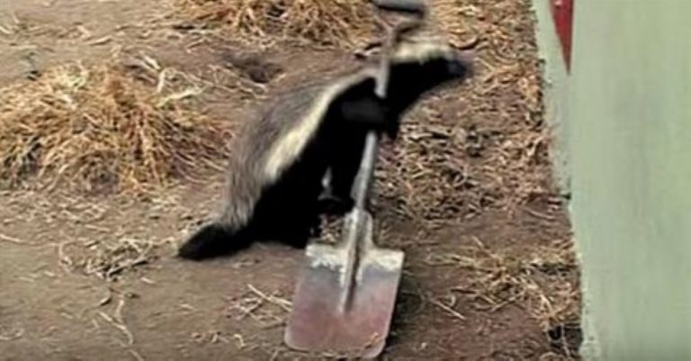 This Honey Badger Houdini Cannot Be Caged… His Escape Techniques Are GENIUS!