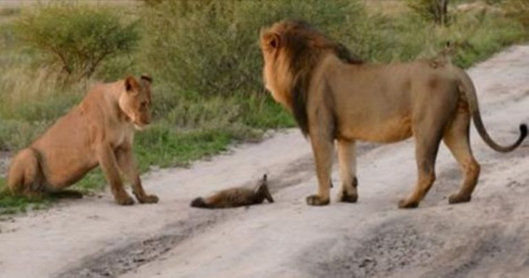 How These Two Lions Reacted To This Injured Fox SHOCKED Animal Scientists…