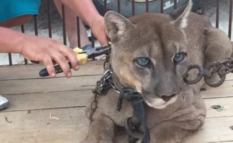 'Circus' Mountain Lion Chained His Entire Life Freed After Dramatic Rescue