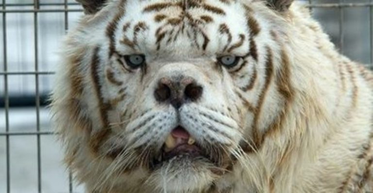 THIS Is Why No One Should Ever Breed White Tigers…