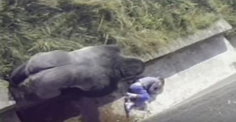 TERRIFYING Footage Shows Small Child Fallen Into a Gorilla Enclosure At Zoo