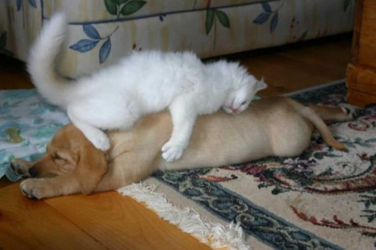 These 25 Cats Sleeping On Dogs Couldn't Be Cuter If They Tried!