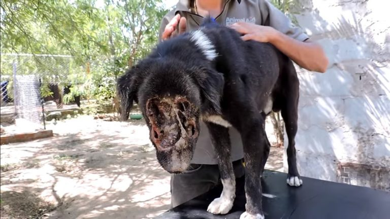 This Poor Dog's Face Was Eaten Away By Maggots… But Just Look At Him Now!
