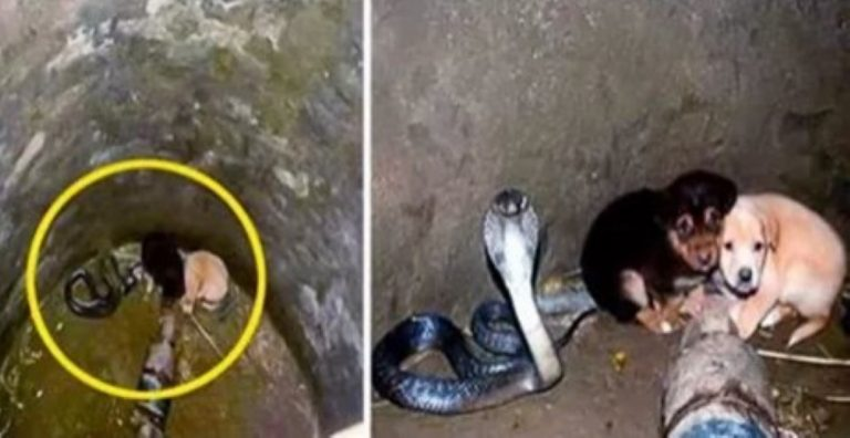 Two Puppies Fall Into A Snake Pit… How The King Cobra Reacts? UNBELIEVABLE!