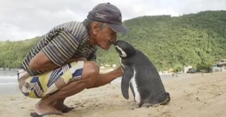 Penguin Swims 5,000 Miles Every Single Year To Visit The Man Who Saved Him!