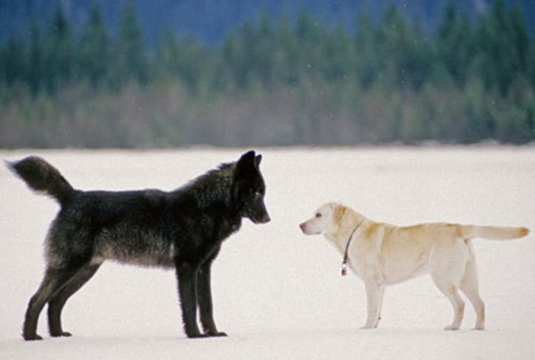 He Watched On Helplessly As A Wolf Approached His Dog… Then Something INCREDIBLE Happened!
