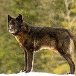 Friendly Wolf
