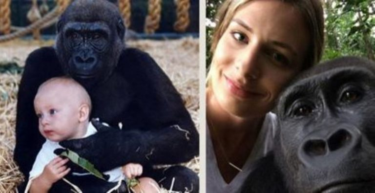 She Just Reunited With The Gorillas She Was Brought Up With And It's BEAUTIFUL!