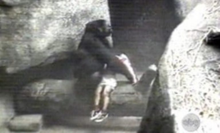 Gorilla Lovingly Carries 3 Year-Old Child To Safety After He Fell Into Her Enclosure