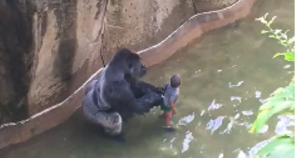 New Footage Emerges Of Harambe The Gorilla Holding Young Boy's Hand And Protecting Him