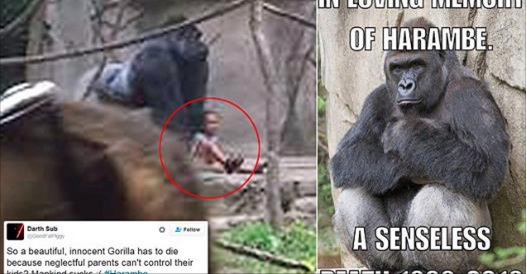 Outrage Directed At Parents In Harambe The Gorilla's 'Senseless Death'