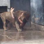 Lion suicide bid 2