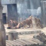 Lion suicide bid 3
