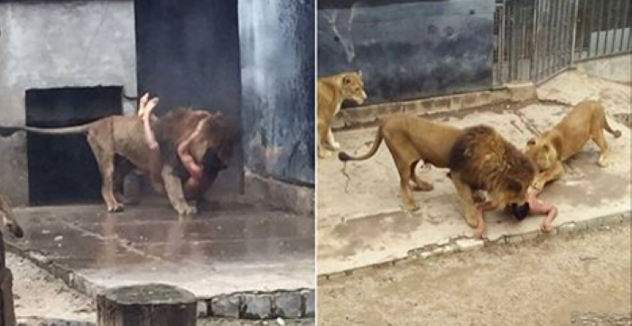 """Naked Man Jumps Into A Zoo's Lion Enclosure In A """"Suicide Bid"""""""