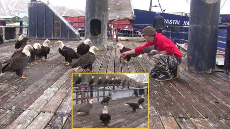 Alaskan Fisherman Feeds A Big Flock Of Bald Eagles… But When The Camera Pans Left? WHOA!