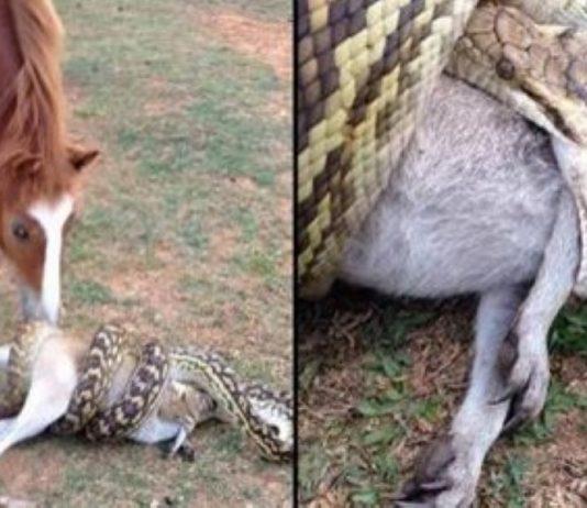 Snake Eats Wallaby