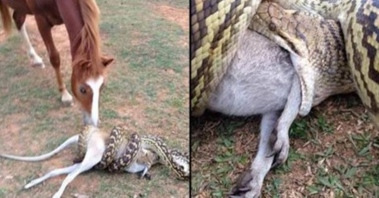 Snake Swallows Entire Wallaby (And Her Joey…) Whole