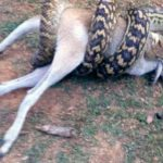 Snake Eats Wallaby