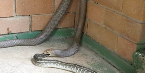 When A Snake Eats Another Snake… It's GROSS! Who Knew?!